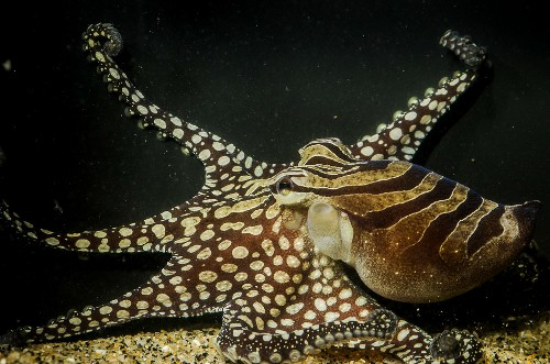 Social Octopus Species Shatters Beliefs About Ocean Dwellers