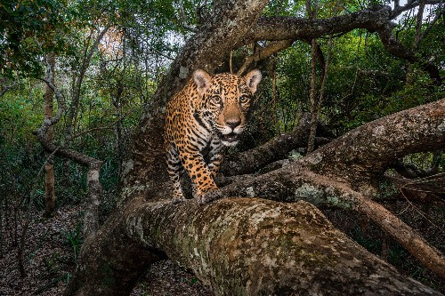 The struggle to protect a vital jaguar corridor