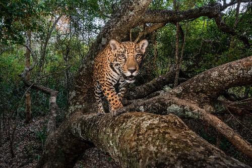 The struggle to protect a vital jaguar corridor