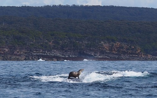Seal Catches Ride on Whale. Why Does This Keep Happening?