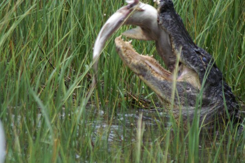 Alligators Attack and Eat Sharks, Study Confirms