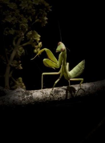 Praying mantid Photo by David Higgins — National Geographic Your Shot