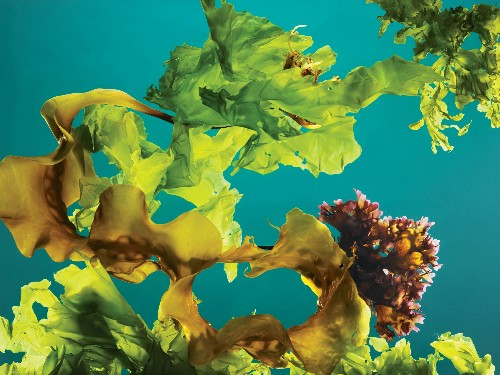This Seaweed Is Good for You—And for the Environment