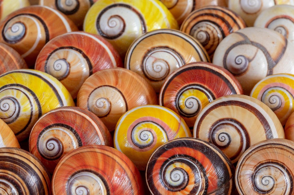 'World's most beautiful snails' threatened by illegal trade