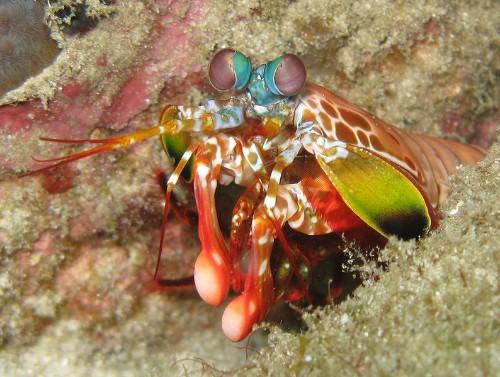 Why Mantis Shrimp Send Secret Messages Using Twisted Light