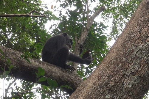In a first, chimpanzees seen smashing and eating tortoises