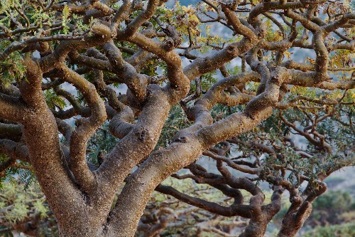 Frankincense trees—of biblical lore—are being tapped out for essential oils