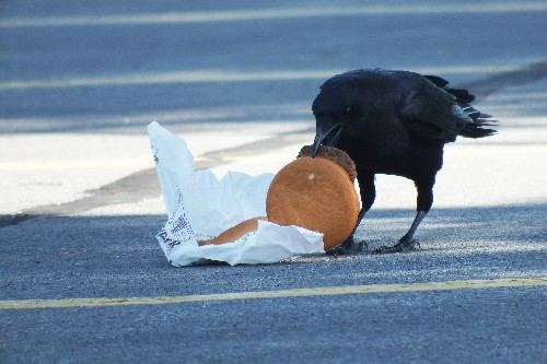 Crows love cheeseburgers. And now they're getting high cholesterol.
