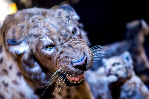 This Saber-Toothed Cat Mingled With Modern Humans