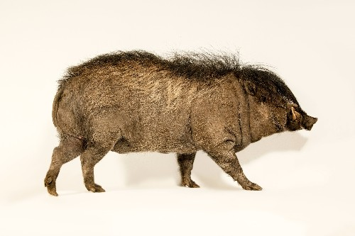 Meet the critically endangered pig with a rockstar mohawk