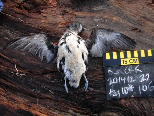 Mass Death of Seabirds in Western U.S. Is 'Unprecedented'