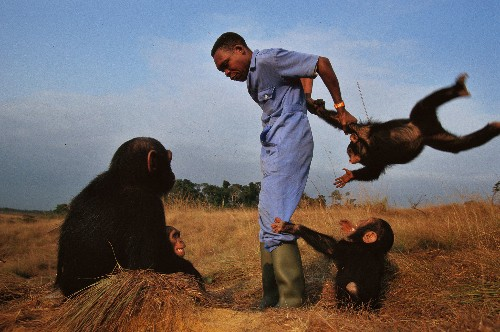 Why Chimps Are Disappearing and How to Save Them