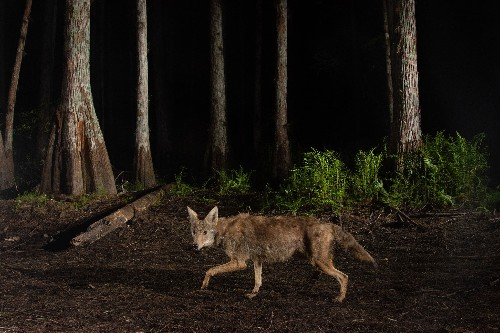 Coyotes have expanded their range to 49 states—and show no signs of stopping.