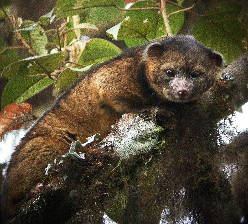 New Carnivore Revealed: Photos of the Olinguito and its Kin