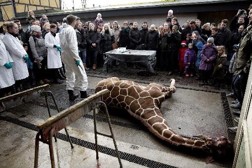 Giraffe Killing at Copenhagen Zoo Sparks Global Outrage