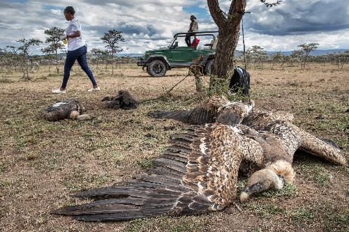 'This is a full-blown crisis': Fighting vulture poisoning in Kenya