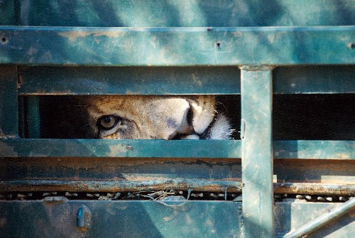 U.S. Hunters Banned from Importing Trophies from Captive Lions