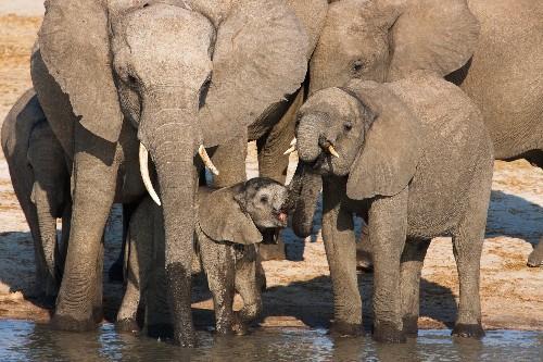 Why It's So Hard to Stop Zimbabwe's Export of Baby Elephants