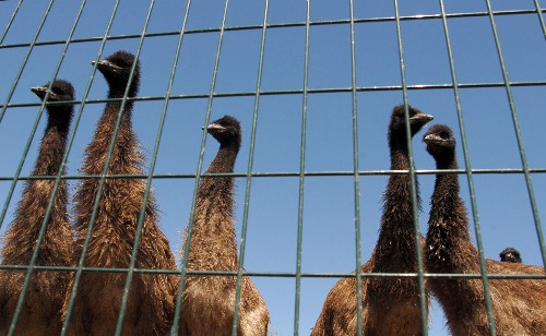 What Ever Happened to Emu, the Next Red Meat?