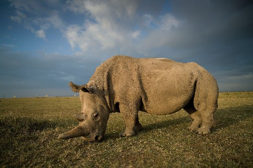 Bold effort to save rhino completes critical step