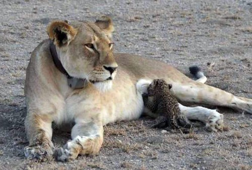 First-Ever Photos Show Wild Lion Nursing Leopard Cub