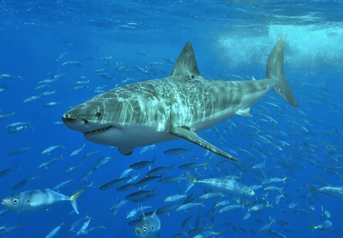 AUV Shows What Great White Sharks Do All Day
