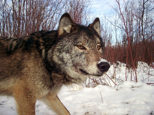 Should We Save the Wolves of Isle Royale?