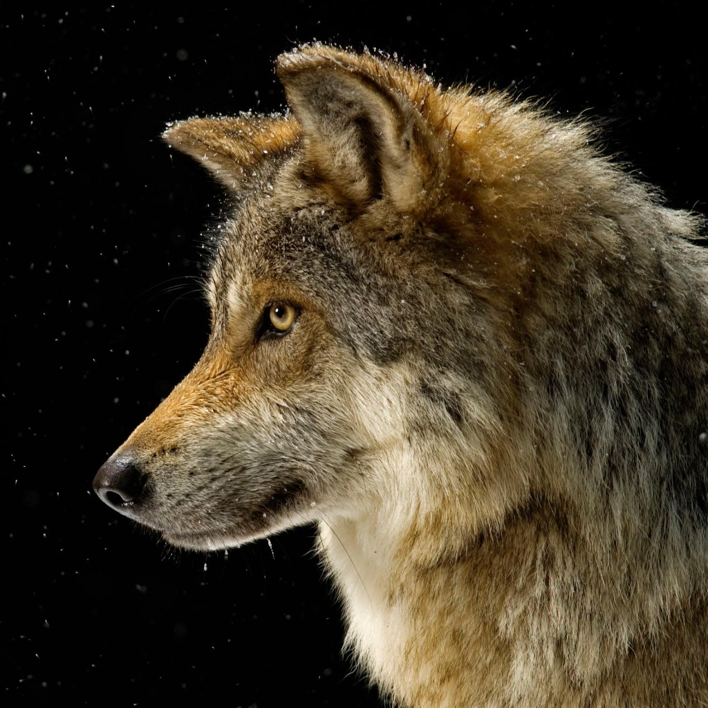All about the red wolf