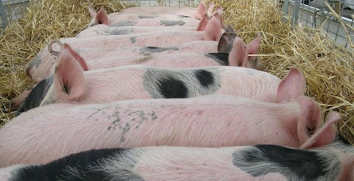 Deadly Pig Virus May Have Sneaked Into US On Reusable Bags