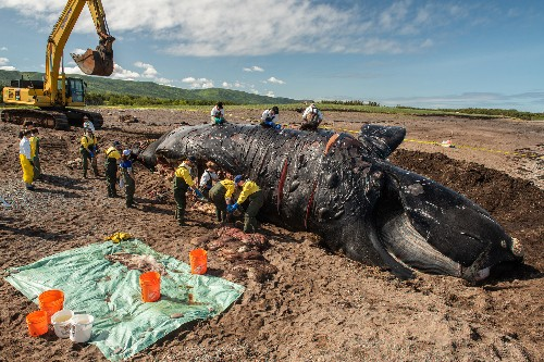 6 recent deaths push rare whales closer to extinction