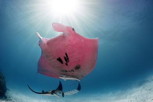 How did this rare pink manta get its color?