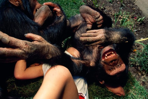 Do Animals Laugh? Tickle Experiments Suggest They Do