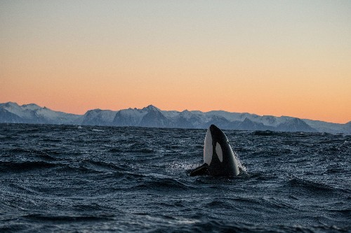 Orcas eat great white sharks—new insights into rare behavior revealed