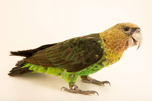 Africa's Most Endangered Parrot Fighting for Survival