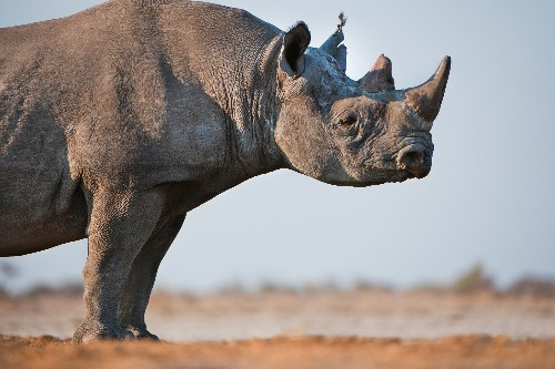 American's Bid to Take Home Rhino Head Stokes Hunting Debate