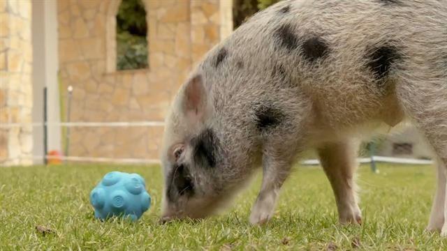 Pet pigs can communicate with humans—especially when food is involved