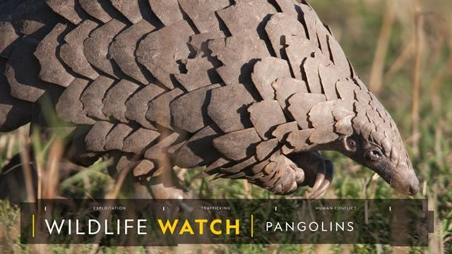 Pangolin scales are not a party drug, say researchers