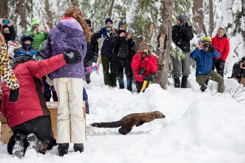With a furry predator's return, Washington finally has all its carnivores back