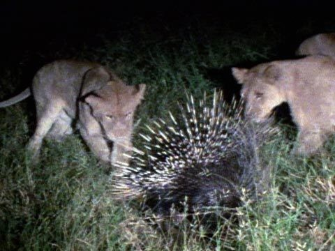 How Did Porcupine Repel 17 Lions? Explaining Viral Video