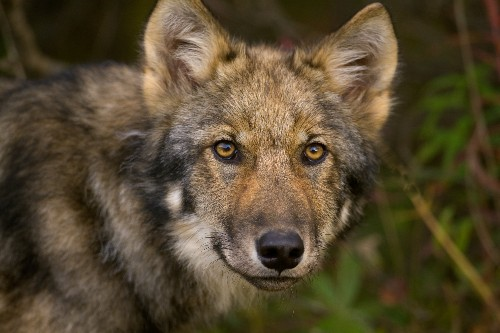 Wolves are making a comeback. Here's where to see them