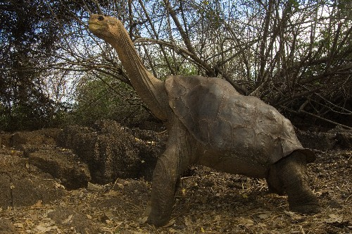 Lonesome George to Be Stuffed, Displayed at NYC Museum