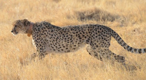 Collars Reveal Just How Extreme Cheetahs Can Be