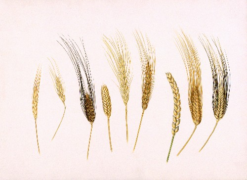 Ancient Wheat DNA Find Shifts Early UK Farming Theories