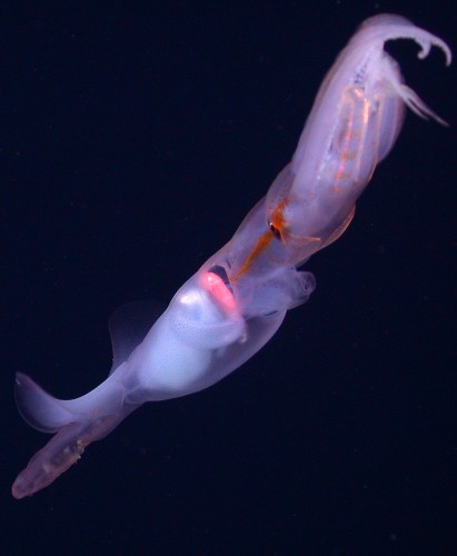 Noodle-Armed Deep-sea Squid Mystery Solved
