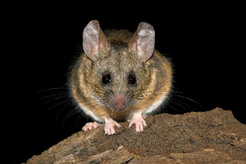 Listen: Mice 'argue' about infidelity in ultrasound