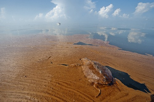 "Gulf Oil Spill ""Not Over"": Dolphins, Turtles Dying in Record Numbers"