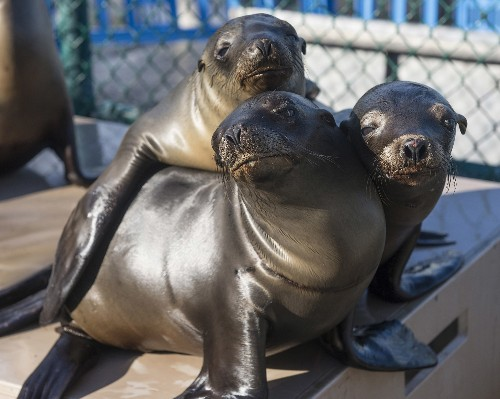 Mysterious Sea Lion Die-Off Strikes Again on California Coast