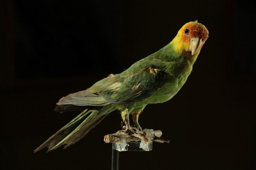 How humans killed off the only parrot native to the continental U.S.