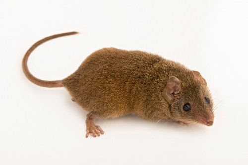 Sex, Sex, and More Sex, Then Death: The Antechinus Story