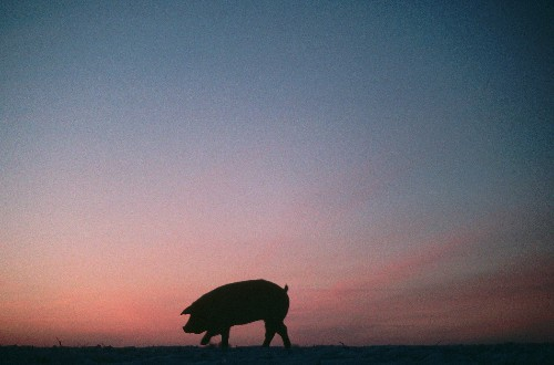 Virus Kills Millions of American Pigs, Pushing Up Pork Prices